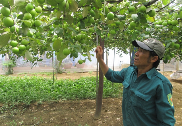 Nets on jujube orchards protect plants reduce pesticide use