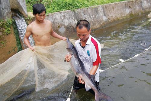 Caged-sturgeon breeding brings high incomes to mountainous farmers
