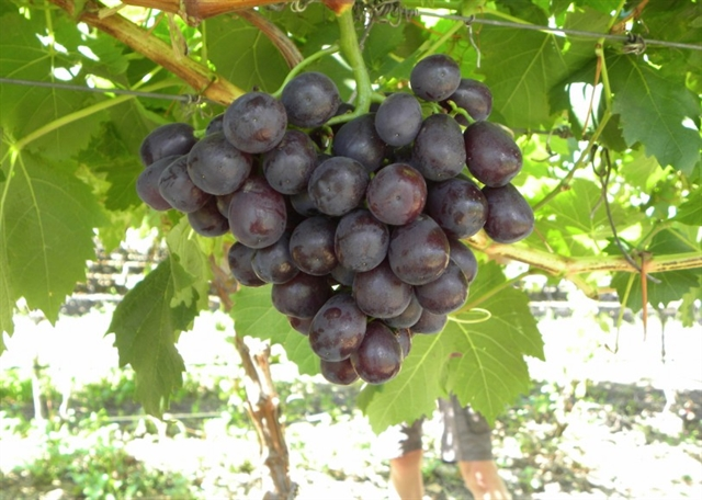 South African company to export fresh grapes to Việt Nam