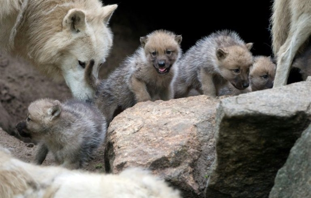 Wolf puppies play fetch too scientists find