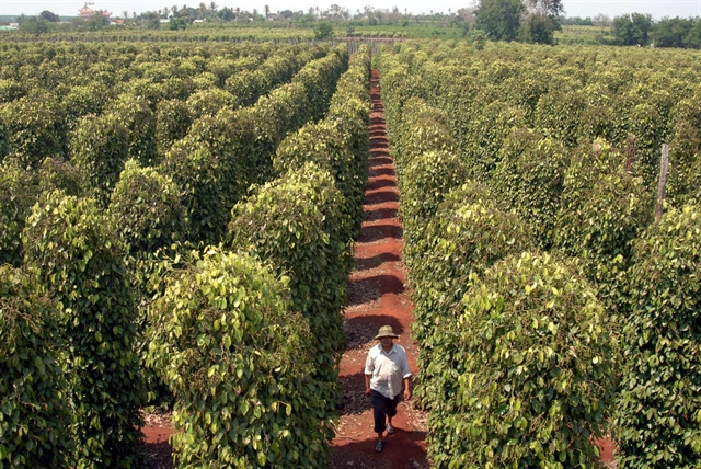 Quality key to pepper growth not quantity