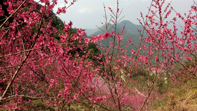 Peach blossom festival held in Lạng Sơn
