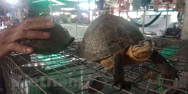 Wild turtles under threat of extinction