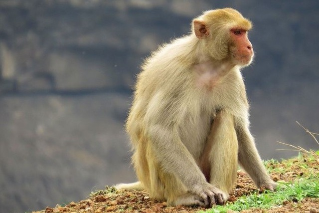 Việt Nam tests COVID-19 vaccine on monkeys