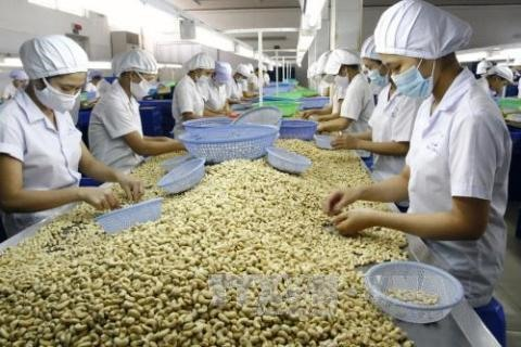 Việt Nam remains worlds top cashew exporter