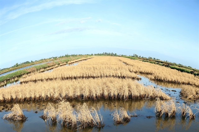 Mekong Delta saltwater intrusion in rivers damages crops