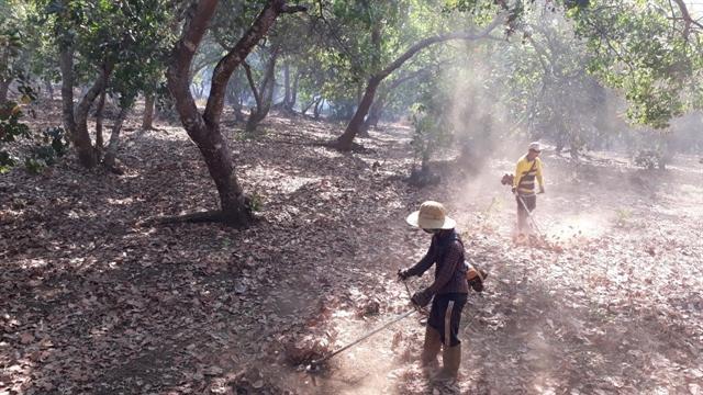 Bình Phước farmers have good cashew harvest