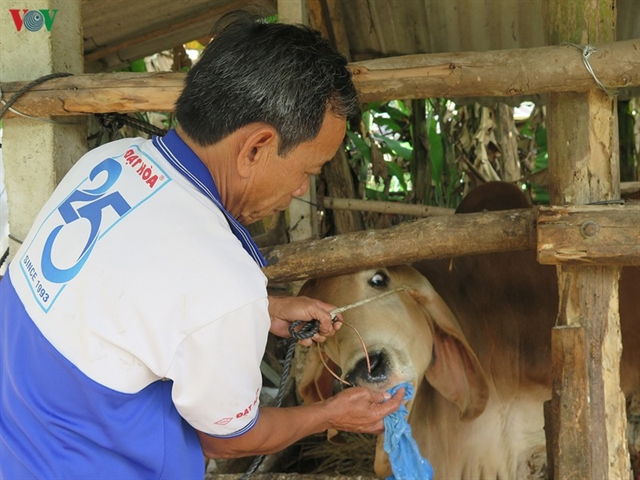 Quảng Ngãi struggles to fight foot-and-mouth disease