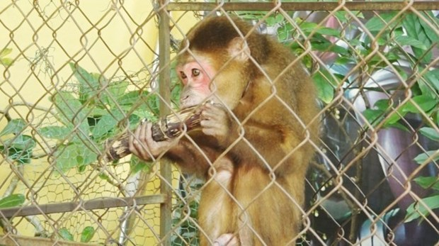 Quảng Bình man hands over rare monkey to national park