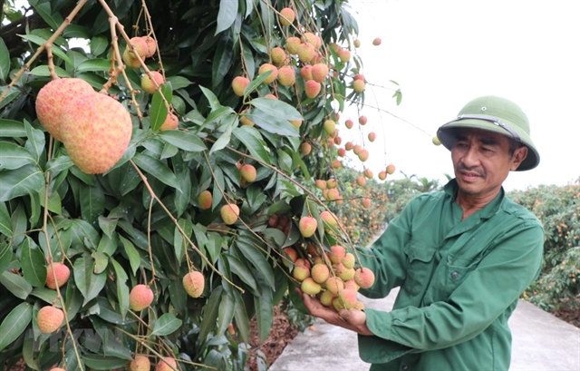 Preparations geared up for exporting fresh lychees to Japan