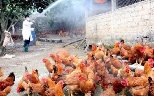 Bird flu spreads in Thanh Hoá Province