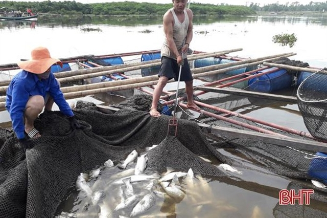 Hà Tĩnh cage fish farmers restore production