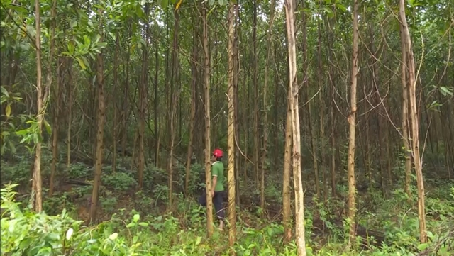 Quảng Trị to plant 60000ha of forests by 2030