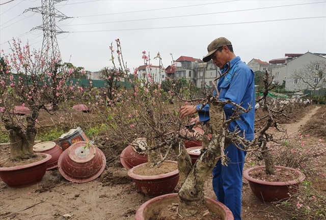 Peach blossom farmers back to work after Tết