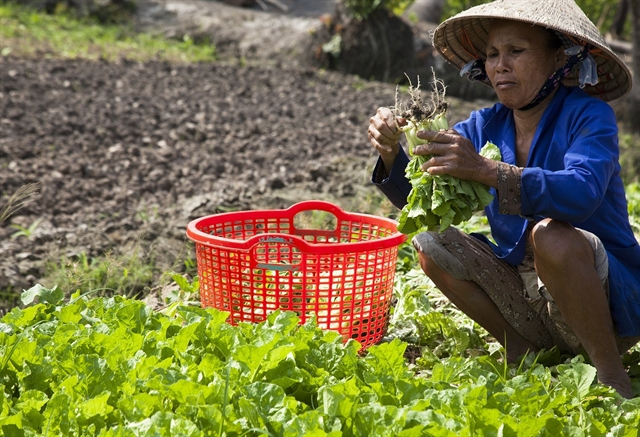 VietGap vegetables yield high incomes for Kiên Giang farmers