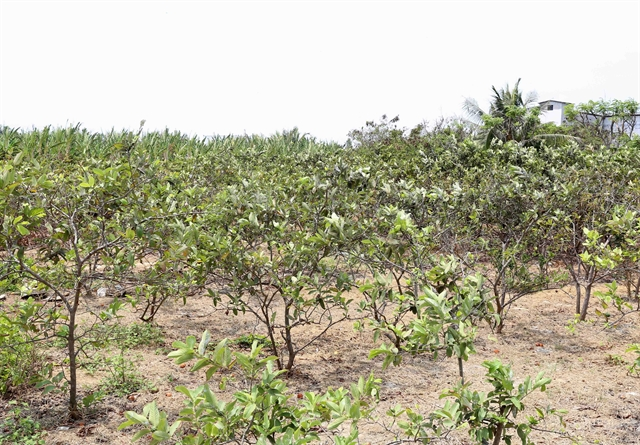 Mekong Delta fruit cultivation hit by saltwater intrusion