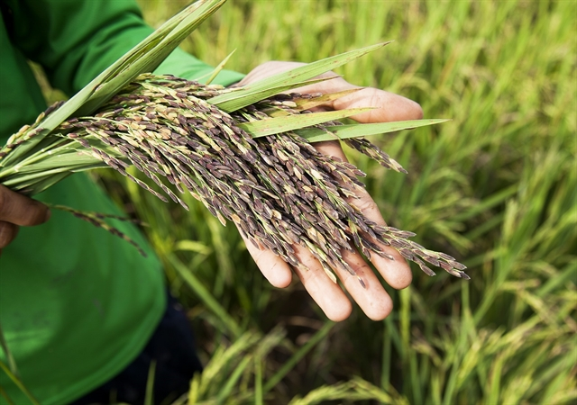 Rice cultivation must ensure domestic supply in spite of difficulties: agricultural ministry