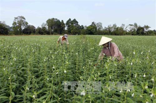 Cần Thơ rice farmers switch to high-value sesame