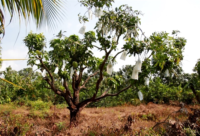 VietGAP quality mango fetches high incomes for farmers in Mekong Delta commune