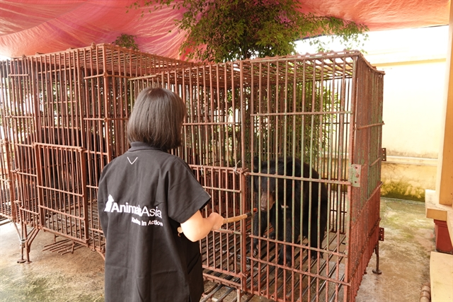 Three captive bears in Nam Định rescued and taken to Việt Nam Bear Rescue Centre