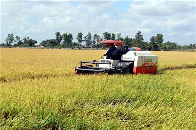Mekong Delta paddy prices drop slightly