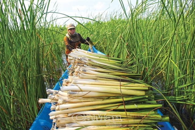 Bulrush cultivation offers stable income for farmers