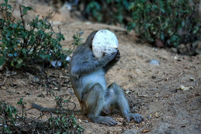 Rangers drive monkeys back into forest on COVID-19 alert