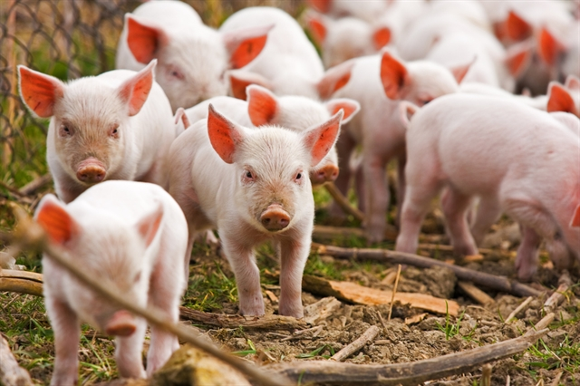 Farmers troubled as piglet prices double from last year