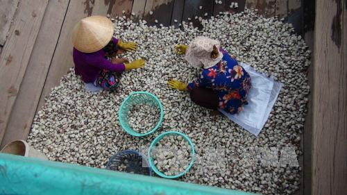 Trà Vinh to expand clam farming areas