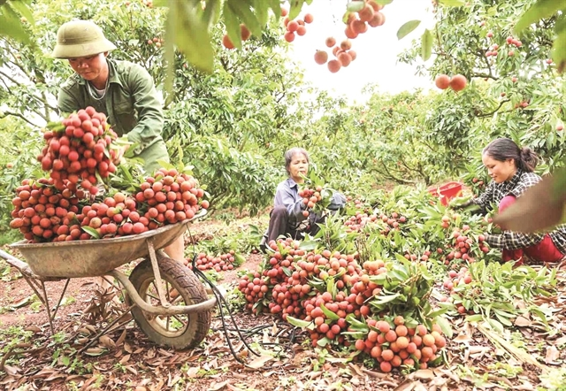 Bắc Giang will boost domestic lychee consumption due to difficultiesin export