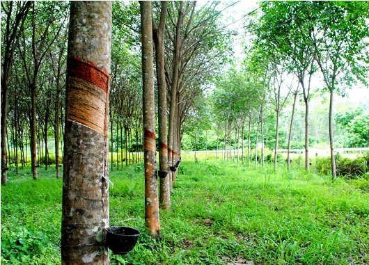 Rubber plantations converted into industrial land