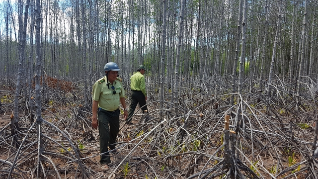 Mangrove forest trees die from water shortage