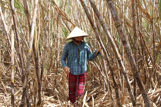 Sugarcane farmers in Sóc Trăng Province unable to sell crop