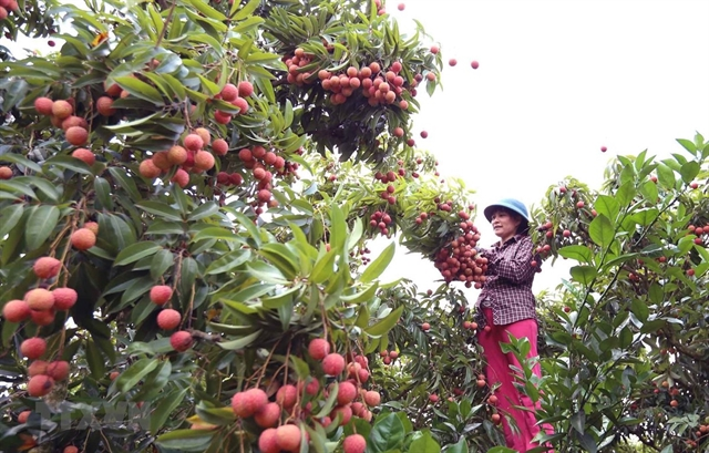 Lychee production hubs seek to boost consumption amid export difficulty