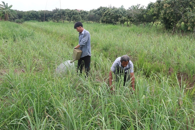 Lemongrass farmers in Tiền Giang Province encouraged to expand output diversify products