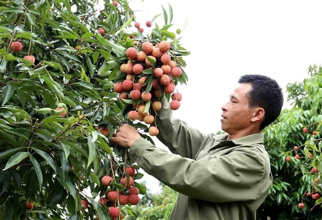 Việt Nam proposes solutions to Japan for export of lychee