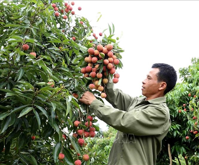 Japanese experts to arrive in Việt Nam to examine lychee exports