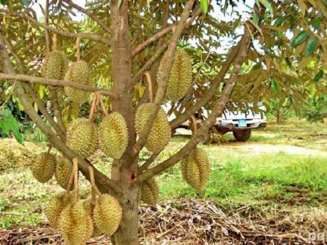 Bitter harvest for Mekong fruit farmers