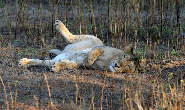 India buoyed by jump in rare Asiatic lion numbers