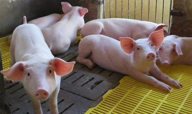 Việt Nam begins to import live pigs from Thailand