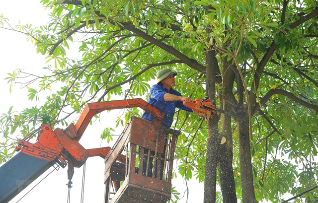 Hà Nội plans to trim trees to ensure safety in rainy season