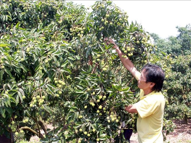 Over 300 Chinese traders allowed to enter Việt Nam to buy lychees