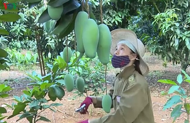 Sơn La mangoes exported to US Canada and Australia