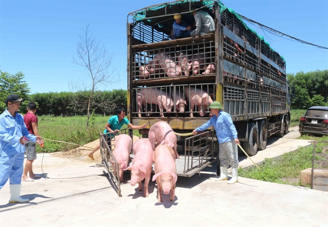 Pigs imported from Thailand safe MARD reports