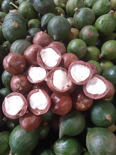 Kon Tum Province eyes sustainable development of macadamia farming