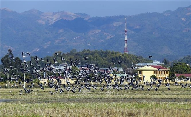 Thousands of Asian openbills forage for food in central VN