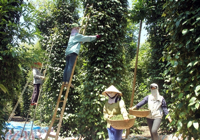 India might tighten pepper imports from VN, ministry warns