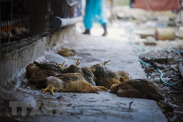 Bird flu detected on Buôn Ma Thuột farms