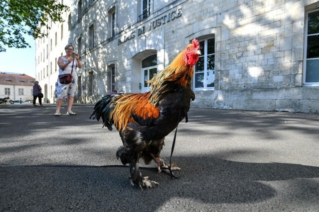 Justice sought for Marcel French rooster shot for crowing