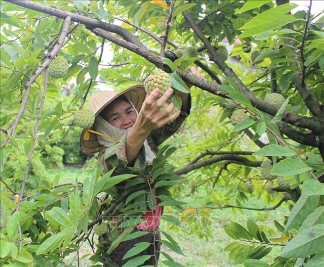 Farmers escape poverty thanks to custard apples